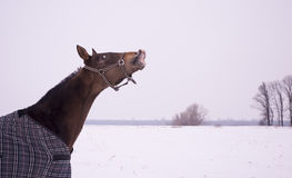 Brown horse in a horse-cloth checkered sniffing on the snowy field Royalty Free Stock Images