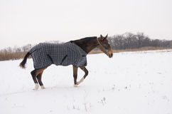 Brown horse in a horse-cloth checkered walking on the snowy field Royalty Free Stock Photo