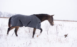 Brown horse in a horse-cloth checkered wlaking on the snowy field. In the dry grass Royalty Free Stock Image