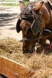 Brown horse of horse drawn carriage graze Royalty Free Stock Images