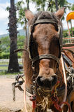 Brown horse of horse drawn carriage Royalty Free Stock Photography