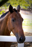 Brown Horse I. Portrait of a healthy warm-blooded horse in a ranch Royalty Free Stock Photo