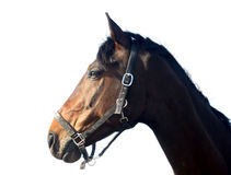 Brown horse, isolated Royalty Free Stock Image