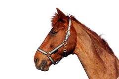 Brown horse, isolated Royalty Free Stock Images