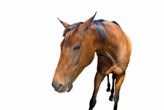 Brown horse isolated Royalty Free Stock Image