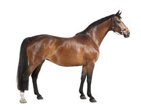 Brown horse isolated. A brown horse in studio against a white background, isolated Royalty Free Stock Photos