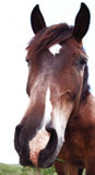 Brown horse isolated on white background Stock Photography