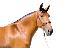 Brown horse isolated Royalty Free Stock Photo
