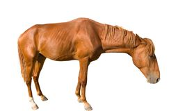 The sad young horse. Brown horse isolated on white background royalty free stock photography