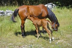Brown horse with its eating foal. In a meadow Stock Photo