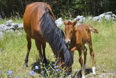 Brown horse with its foal. In a meadow Stock Photography