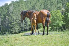Brown horse with its foal. In a meadow Stock Images