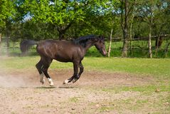 Brown horse in jump Royalty Free Stock Image
