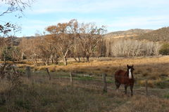 Brown horse landscape- Tharwa, ACT Stock Photography