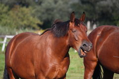 Brown horse laughing out loud. Brown funny horse laughing out loud Royalty Free Stock Images