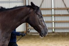 Brown horse learning on manege Royalty Free Stock Photography