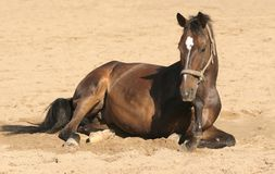 Brown horse lies down Stock Photo