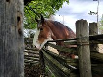 Brown horse. Look out  the fence in the private area in Canada on sunny day stock photos