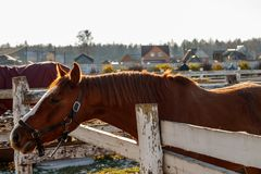 Brown horse looking into the distance royalty free stock photos