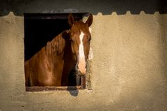 Brown horse looking out of a window on stable stock image