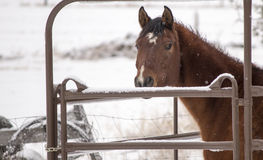 Brown Horse Looking Over Gate in the Snow. This brown horse stares over the gate as the snow softly falls around it in this snowy scene Royalty Free Stock Photography