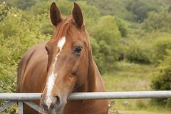 A beautiful horse, looking over a fence. A brown horse looks across the fields of Snowdonia National Park royalty free stock image