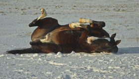 A brown horse lying down playing Stock Image