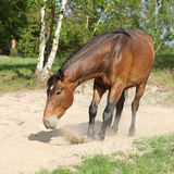 Brown horse lying down in the sand in hot summer Stock Photo