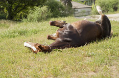 Brown horse lying on the grass Stock Images