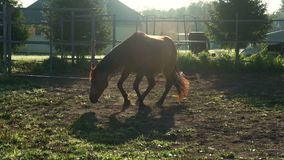 Brown horse lying on ground at pasture. Fun horse playing in dust at farm land stock video