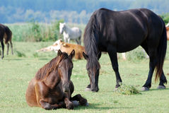 Brown horse lying on pasture Royalty Free Stock Photos