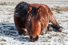 Brown horse lying on the snow. In the snow lying horse is staring forward Royalty Free Stock Image