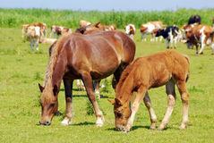 Brown horse mare and foal Stock Images