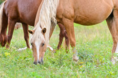 Brown horse mares. Stock Image