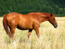 Brown horse in meadow Royalty Free Stock Image