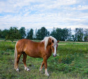 Brown horse on the meadow Stock Photos