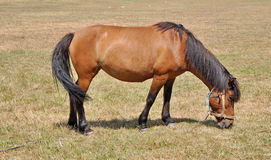 Brown horse on a meadow Royalty Free Stock Image