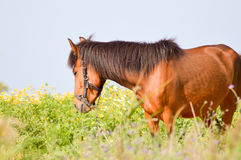 Brown horse in a meadow filled Royalty Free Stock Photography