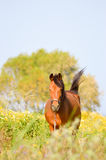 Brown horse in a meadow filled with daisies Stock Photography