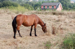 Brown horse in the meadow grazing Stock Images