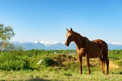 Brown horse in the meadow, the Pyrenees mountains in the backgro. A brown horse in the meadow, the Pyrenees mountains in the background Royalty Free Stock Image