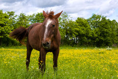 Brown horse in the meadow. Brown horse standing in the meadow among yellow flowers Royalty Free Stock Photo