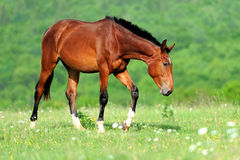 Horse. Brown horse on meadow in summer day stock image