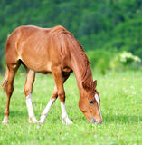 Horse. Brown horse on meadow in summer day Stock Photos