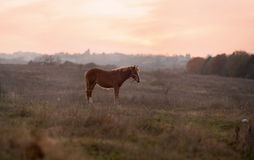 Brown horse on meadow Royalty Free Stock Photos