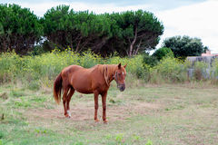 Brown Horse in a meadow Stock Photo