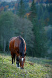 Brown horse on a mountain pasture Stock Photography