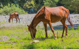 Brown horse on mountain river shore Royalty Free Stock Images
