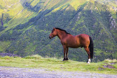 Brown horse on a mountain side view. This brown horse is standing on the edge of a mountain road in Carpathian Mountains, Romania. The splendid horse is Royalty Free Stock Photo