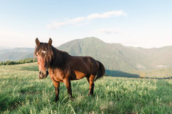 Brown horse in the mountains. Brown horse in a pasture in the mountains. Sunny day. Carpathians, Ukraine, Europe Royalty Free Stock Photos